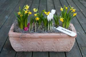 uteplantering-lökväxter